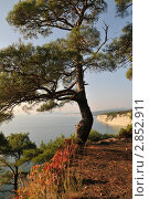 Купить «Осенний пейзаж с пицундской сосной на фоне моря», фото № 2852911, снято 7 октября 2011 г. (c) Игорь Архипов / Фотобанк Лори