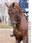 Купить «Выездка. Голова лошади», эксклюзивное фото № 2858123, снято 8 октября 2011 г. (c) Шичкина Антонина / Фотобанк Лори