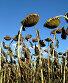 Созревшие подсолнухи, фото № 2861343, снято 11 сентября 2011 г. (c) Юлия Селезнева / Фотобанк Лори