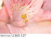 Розовая лилия. Стоковое фото, фотограф Чимакадзе Виктория / Фотобанк Лори