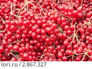 Купить «Красная калина», фото № 2867327, снято 2 октября 2011 г. (c) Наталья Двухимённая / Фотобанк Лори