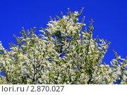 Купить «Роскошный куст черёмухи», фото № 2870027, снято 23 мая 2011 г. (c) Дамир / Фотобанк Лори