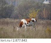 Корова на лугу. Стоковое фото, фотограф Чипилко Евгения / Фотобанк Лори
