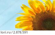 Купить «Подсолнух», видеоролик № 2878591, снято 16 августа 2011 г. (c) Павел Коновалов / Фотобанк Лори