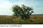 Купить «Дерево посреди поля», видеоролик № 2878627, снято 18 августа 2011 г. (c) Павел Коновалов / Фотобанк Лори