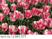 Купить «Тюльпаны», фото № 2881571, снято 15 мая 2010 г. (c) Losevsky Pavel / Фотобанк Лори