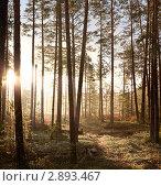 Купить «Утро в сосновом лесу», фото № 2893467, снято 9 октября 2011 г. (c) Владимир Мельников / Фотобанк Лори