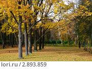 Дубовая роща в осеннем парке. Усадьба Остафьево (2009 год). Стоковое фото, фотограф Екатерина Егоркина / Фотобанк Лори