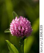 Купить «Розовый клевер», фото № 2896839, снято 24 июля 2011 г. (c) Олег Рубик / Фотобанк Лори