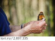 Купить «Клёст в руках орнитолога», фото № 2897335, снято 6 июля 2010 г. (c) Артём Сапегин / Фотобанк Лори