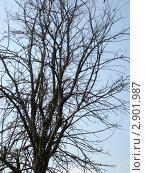 Сухое дерево на фоне синего неба. Стоковое фото, фотограф Елена Смирнова / Фотобанк Лори