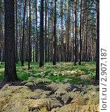 Купить «Папоротник в хвойном лесу», фото № 2907187, снято 4 сентября 2011 г. (c) Александр Тараканов / Фотобанк Лори