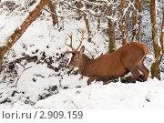 Купить «Красный олень переходит ручей в зимнем лесу», фото № 2909159, снято 19 декабря 2010 г. (c) Татьяна Кахилл / Фотобанк Лори