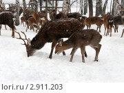 Купить «Пятнистые дальневосточные олени (Cervus nippon) в зимнем лесу. Взрослый самец и детеныш», эксклюзивное фото № 2911203, снято 23 января 2011 г. (c) Щеголева Ольга / Фотобанк Лори