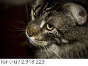 Кот породы мейн-кун. Стоковое фото, фотограф Svetlana Yudina / Фотобанк Лори