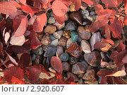 Самоцветы в обрамлении осенней скумпии. Стоковое фото, фотограф Юрий Кузовлев / Фотобанк Лори
