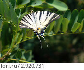 Бабочка махаон на ветке акации, фото № 2920731, снято 21 июля 2007 г. (c) Ершова Дора Владимировна / Фотобанк Лори