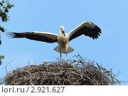 Купить «Аист белый, Ciconia ciconia, Oriental White Stork», фото № 2921627, снято 16 июля 2011 г. (c) Василий Вишневский / Фотобанк Лори