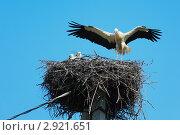 Купить «Аист белый, Ciconia ciconia, Oriental White Stork», фото № 2921651, снято 16 июля 2011 г. (c) Василий Вишневский / Фотобанк Лори