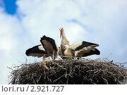 Купить «Аист белый, Ciconia ciconia», фото № 2921727, снято 30 июля 2011 г. (c) Василий Вишневский / Фотобанк Лори