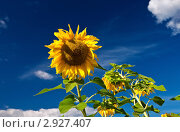 Купить «Подсолнухи на фоне синего неба», фото № 2927407, снято 23 августа 2011 г. (c) FotograFF / Фотобанк Лори