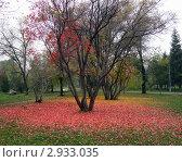Усыпанный красными листьями газ в парке. Стоковое фото, фотограф Надежда Бобир / Фотобанк Лори