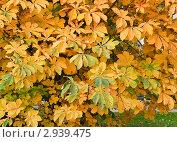 Купить «Каштан осенью», эксклюзивное фото № 2939475, снято 16 октября 2011 г. (c) Алёшина Оксана / Фотобанк Лори