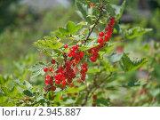 Купить «Красная смородина. (Ribes rubrum)», эксклюзивное фото № 2945887, снято 4 июля 2010 г. (c) Алёшина Оксана / Фотобанк Лори