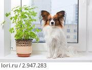 Купить «Собака породы папильон сидит на подоконнике», фото № 2947283, снято 11 ноября 2011 г. (c) Сергей Лаврентьев / Фотобанк Лори