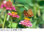 Перламутровка полевая, Латона (Issoria lathonia) на цветке циннии. Стоковое фото, фотограф Макарова Елена / Фотобанк Лори