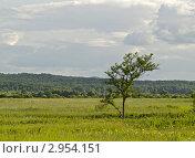 Купить «Одинокое дерево посреди луга», фото № 2954151, снято 11 июля 2010 г. (c) Олег Рубик / Фотобанк Лори