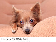 Купить «Портрет грустной собаки», эксклюзивное фото № 2956683, снято 21 сентября 2018 г. (c) Яна Королёва / Фотобанк Лори