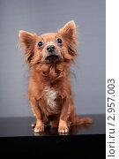 Купить «Портрет маленькой собаки», эксклюзивное фото № 2957003, снято 21 сентября 2018 г. (c) Яна Королёва / Фотобанк Лори