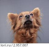 Купить «Портрет коричневой собаки», эксклюзивное фото № 2957007, снято 21 сентября 2018 г. (c) Яна Королёва / Фотобанк Лори