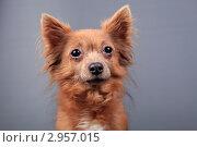 Купить «Портрет маленькой коричневой собаки», эксклюзивное фото № 2957015, снято 19 сентября 2018 г. (c) Яна Королёва / Фотобанк Лори
