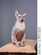 Купить «Кошка породы Донской сфинкс», фото № 2957023, снято 21 сентября 2018 г. (c) Яна Королёва / Фотобанк Лори