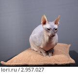 Купить «Кошка породы Донской сфинкс», фото № 2957027, снято 21 сентября 2018 г. (c) Яна Королёва / Фотобанк Лори