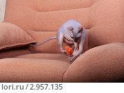 Купить «Кошка породы Донской сфинкс играет с мышкой», фото № 2957135, снято 19 сентября 2018 г. (c) Яна Королёва / Фотобанк Лори