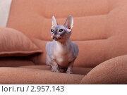 Купить «Кошка породы Донской сфинкс сидит в кресле», фото № 2957143, снято 21 сентября 2018 г. (c) Яна Королёва / Фотобанк Лори