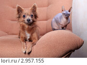 Купить «Собака и кошка породы Донской сфинкс сидят на кресле», фото № 2957155, снято 21 сентября 2018 г. (c) Яна Королёва / Фотобанк Лори