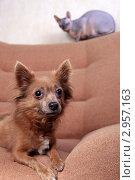 Купить «Маленькая коричневая собака и кошка породы Донской сфинкс сидят на кресле (фокус на переднем плане)», эксклюзивное фото № 2957163, снято 21 сентября 2018 г. (c) Яна Королёва / Фотобанк Лори