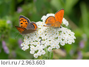 Оранжевые бабочки Червонец огненный (Lycaena virgaureae) на белом полевом цветке. Стоковое фото, фотограф Юрий Мураховский / Фотобанк Лори