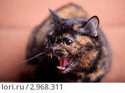Кошка в гневе. Стоковое фото, фотограф Яна Королёва / Фотобанк Лори