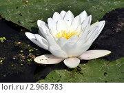Водяная лилия, самый красивый цветок водой. Стоковое фото, фотограф Владимир Доковски / Фотобанк Лори