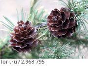 Две шишки на ветке лиственницы. Стоковое фото, фотограф Ирина Таболина / Фотобанк Лори
