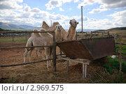Верблюды в загоне. Стоковое фото, фотограф Игорь Чекаев / Фотобанк Лори