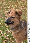 Купить «Портрет беспородной собаки», фото № 2971211, снято 30 октября 2011 г. (c) Анна Николаева / Фотобанк Лори