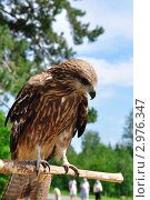 Купить «Коршун», фото № 2976347, снято 25 июня 2011 г. (c) Александр Тараканов / Фотобанк Лори