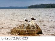Альбатросы на камне. Стоковое фото, фотограф Попонина Ольга / Фотобанк Лори