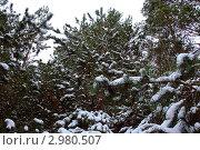 Ветки елей, покрытые снегом. Стоковое фото, фотограф Трошина Елена / Фотобанк Лори